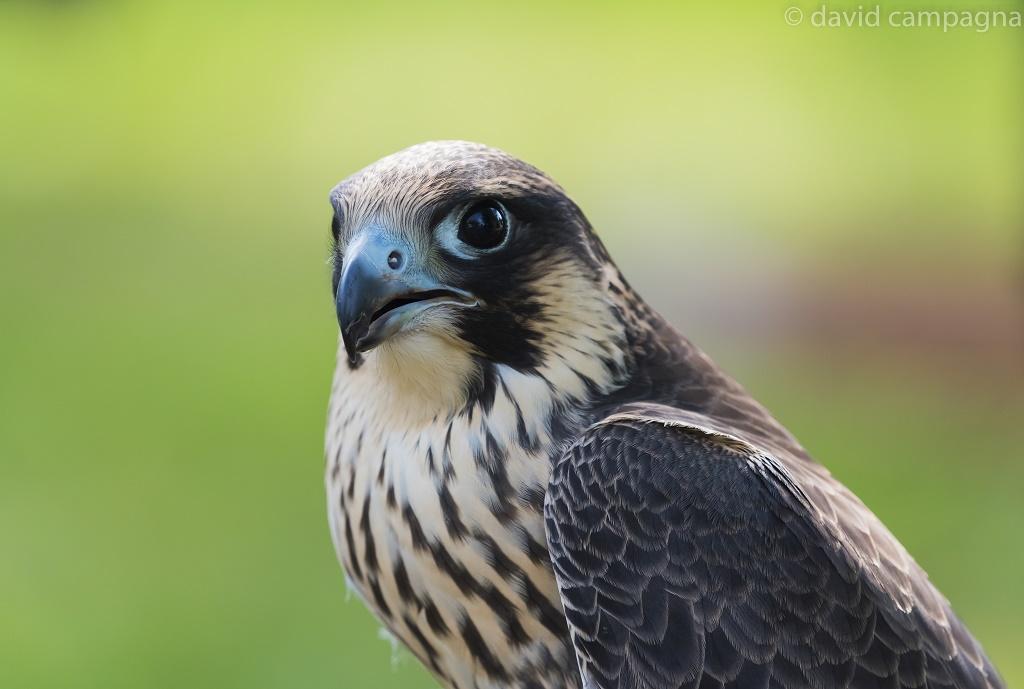 falco-1